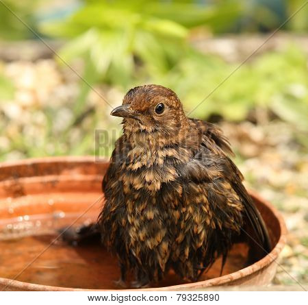 Hot female Blackbird cooling down