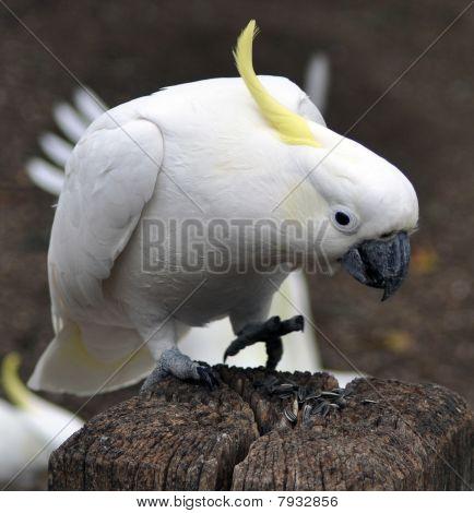 Cockatoo On Wood Stump