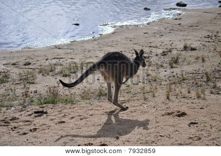 Kangaroo In Traditional Pose