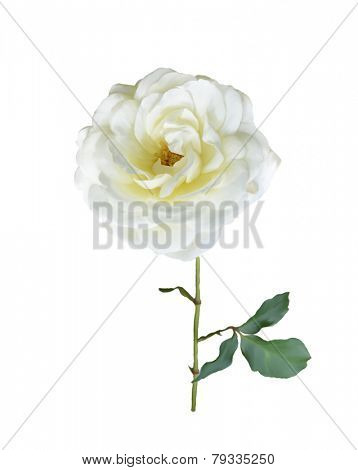 Digital Painting Of White Rose Branch