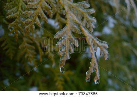 Icy Cedar 1