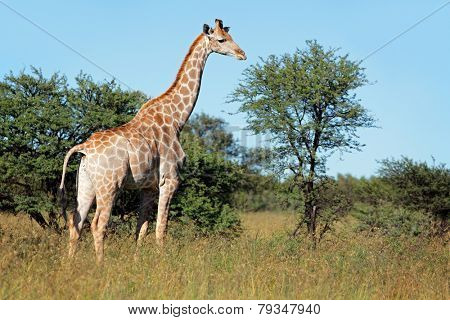 A giraffe (Giraffa camelopardalis) in natural habitat, South Africa