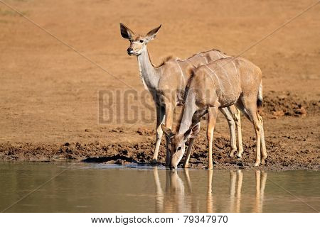 Kudu antelopes (Tragelaphus strepsiceros) drinking water, Pilanesberg National Park, South Africa