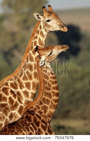Interaction between two giraffes (Giraffa camelopardalis), South Africa