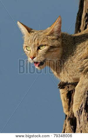 Portrait of an African wild cat (Felis silvestris lybica) sitting in a tree, Kalahari desert, South Africa
