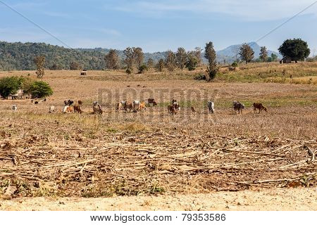 Landscape Whit Cows