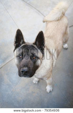 Inquisitive Akita Dog looks into the camera.