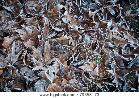 Frosted Leaves And Pine Needles On The Grass