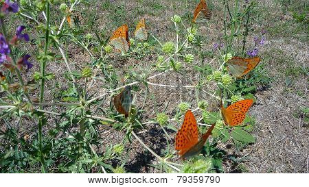 Butterflies Sit On An Agrimony
