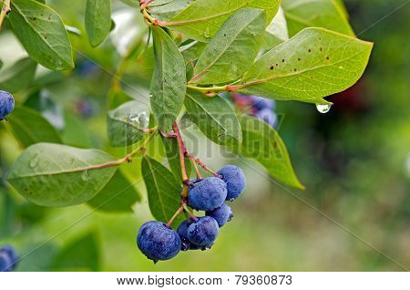 blueberry and raindrop on bush