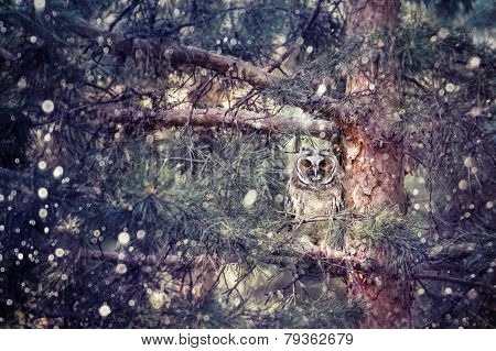 Long Eared Owl In The Forest