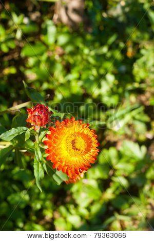 Straw Flower Or Everlasting Flower.