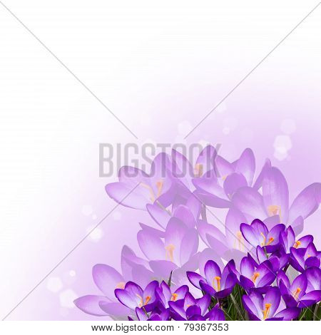 Postcard With Fresh Flowers Crocus  And Empty  Place For Your Text