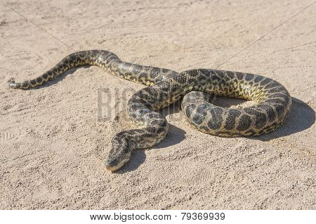 Desert Rock Python On Sandy Ground
