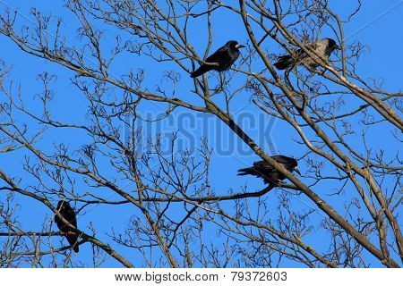Crows And Rooks