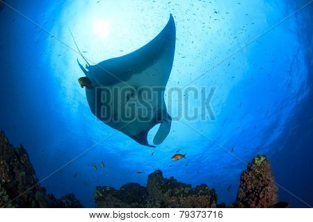 Manta Ray on coral reef