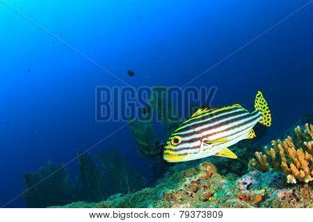 Oriental Sweetlips fish on underwater coral reef