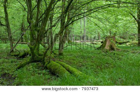 Moss Covered Linden Broken Tree