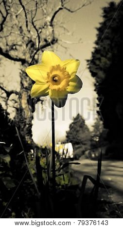 Flower Daffodil Greyscale With Yellow Petals 2