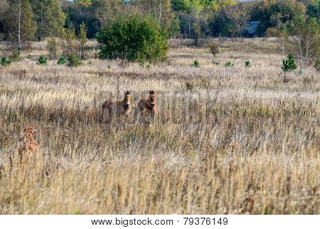 Horses In Chernobyl Zone