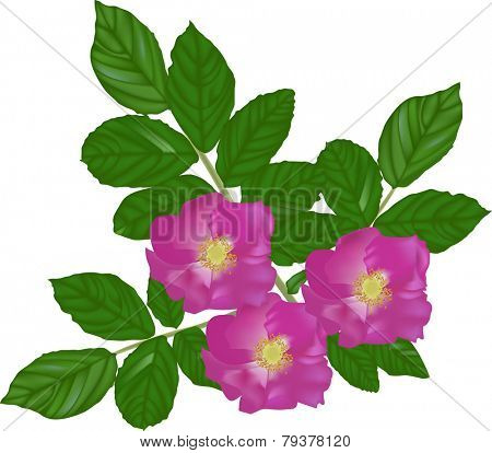 illustration with brier flowers isolated on white background