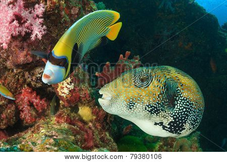 Emperor Angelfish and Giant Puffer fish