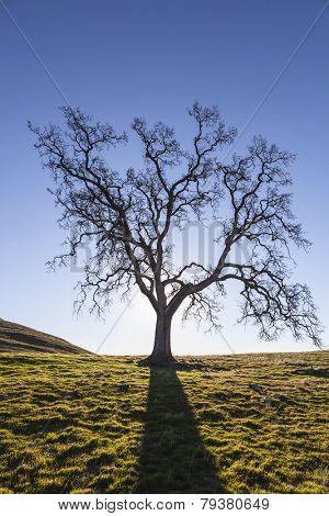 Leafless California White Oak silhouette.