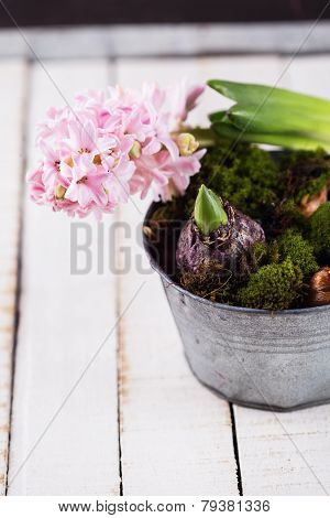 Hyacinth, Moss And Bulb Flowers