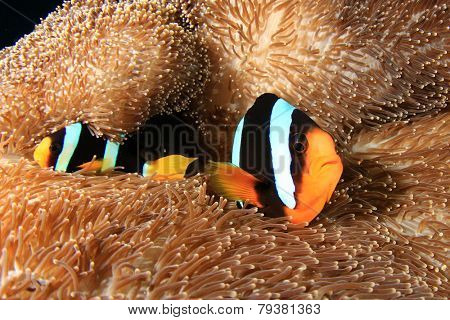 Clarke's Anemonefish on anemone in coral reef