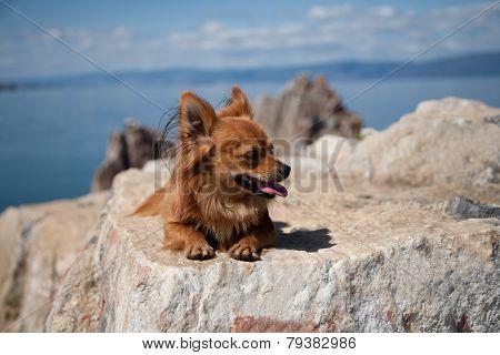 Rufous Chihuahua Sitting On The Rocks