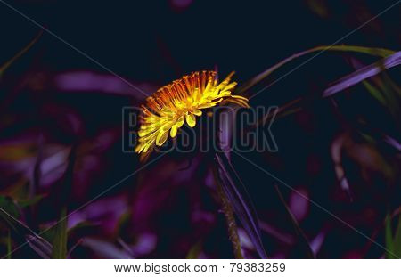 Bright Dandelion In Lilla Colours