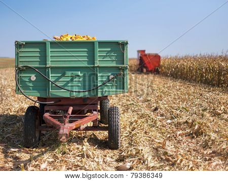 Corn Maize Cobs Loaded Into A Trailer