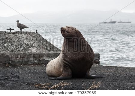 Northern Sea Lion (eumetopias Jubatus) On The Beach