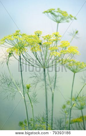 Close-up Of Dill Flower Umbels In The Field