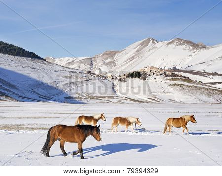 Ponies In  Snowy Plateau Of Castelluccio Of Norcia, Umbria, Italy,  Village In The Background