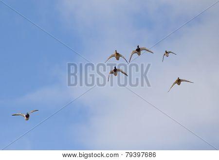 Wild Duck Flying