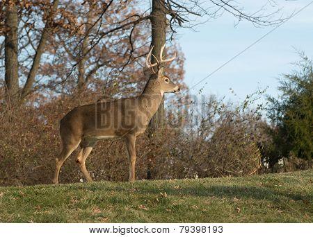 White-tailed Deer Buck