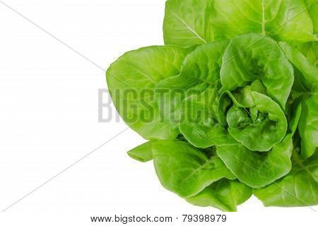 Fresh Wet Green Butterhead Salad