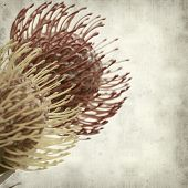 picture of spiky plants  - textured old paper background with exotic protea flowers - JPG