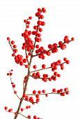 picture of winterberry  - Ilex verticillata winterberry branches isolated on white background - JPG