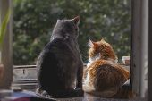 picture of cat-tail  - Two cats gray and orange on the window at summer morning - JPG