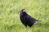 stock photo of wander  - A Carrion Crow wandering through a park - JPG