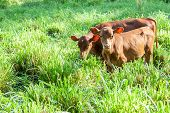 pic of calf  - Two Cow calves grazing in green pasture - JPG