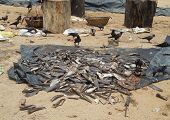 picture of fish skin  - detail of a fish market with lots of fish remains and birds seen in Sri Lanka - JPG