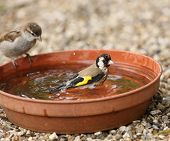 foto of goldfinches  - Close up of a young Goldfinch having a bath watched by a young Tree Sparrow - JPG