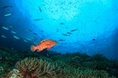 pic of grouper  - Coral Grouper fish on underwater ocean reef - JPG