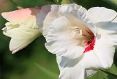 stock photo of gladiolus  - White gladiolus bloomed in the summer garden - JPG
