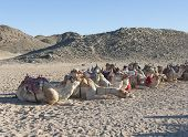 pic of dromedaries  - Herd of dromedary camels at egyptian bedouin village in remote mountain rocky desert - JPG