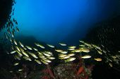 foto of shoal fish  - School Snapper fish - JPG