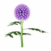 pic of plant species  - Echinops is a genus of about 120 species of flowering plants in the family Asteraceae - JPG